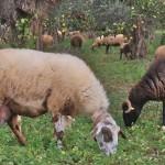 προβατα