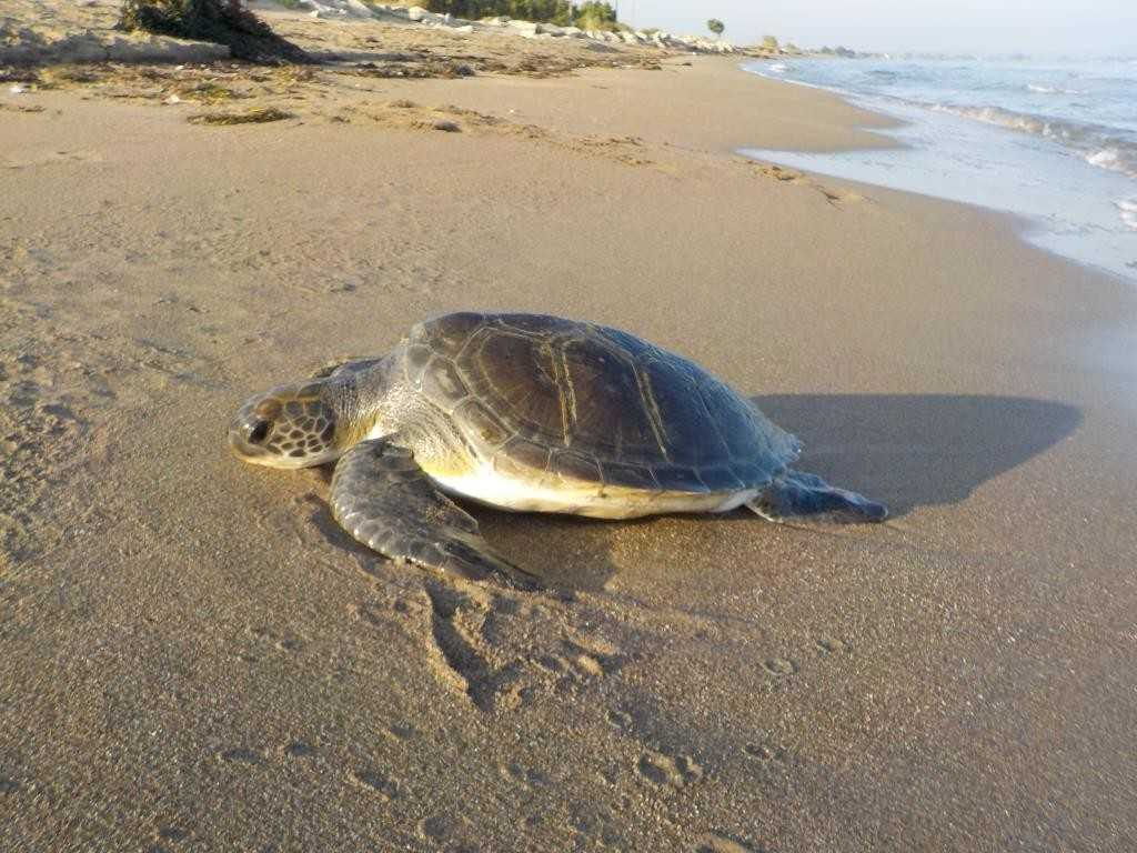 θαλάσσια χελώνα ΙΙ ©Mamasis Dionysis