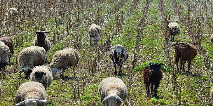 αιγοπρόβατα-Φ.Μ..-e-ea.gr-32
