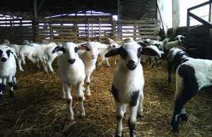 πρόβατα-Φ.-Μπ.-ΕΝΩΣΗ-2 (1)